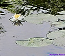 Lily Pad by Marilynne in Plants