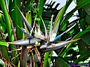 Bird of Paradise by Marilynne in Plants