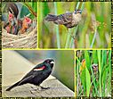 Red Winged Blackbird Collage by Marilynne in Wildlife