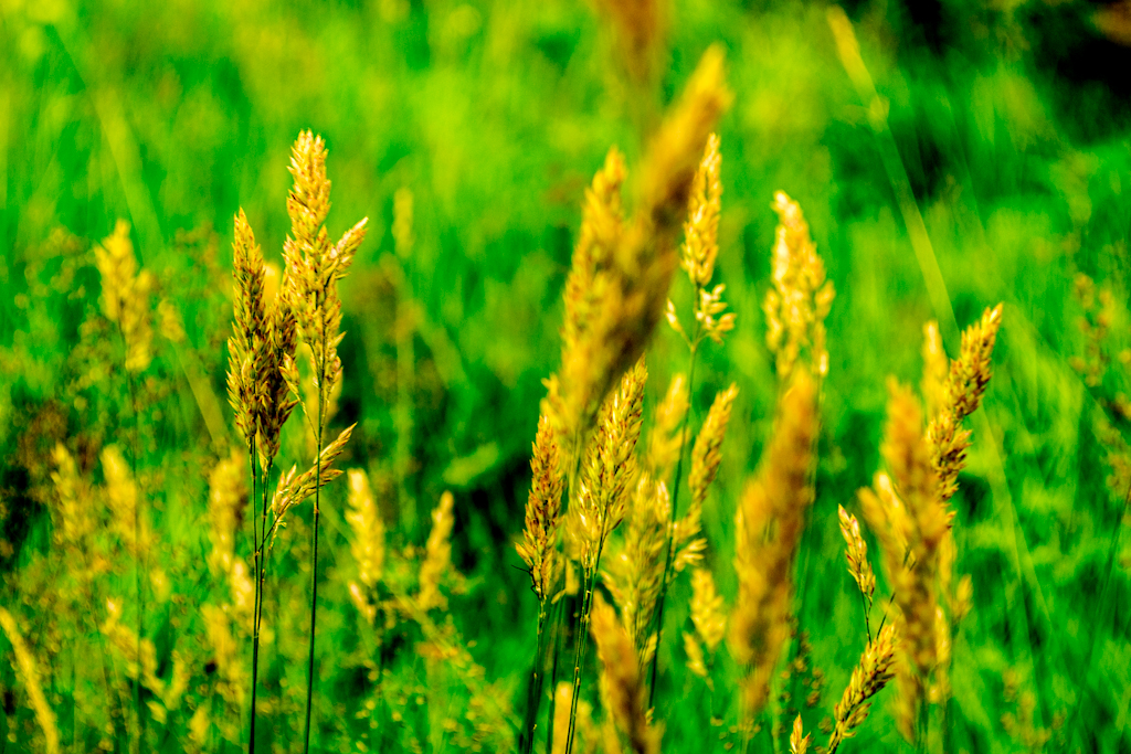 grass in the wind 1 of 1 by Mr.Smith in Member Albums