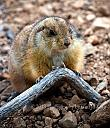 Prarie Dog by Tami Jo in Member Albums