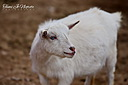 Gentle Goat by Tami Jo in Member Albums