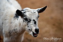 Silly Goat by Tami Jo in Member Albums