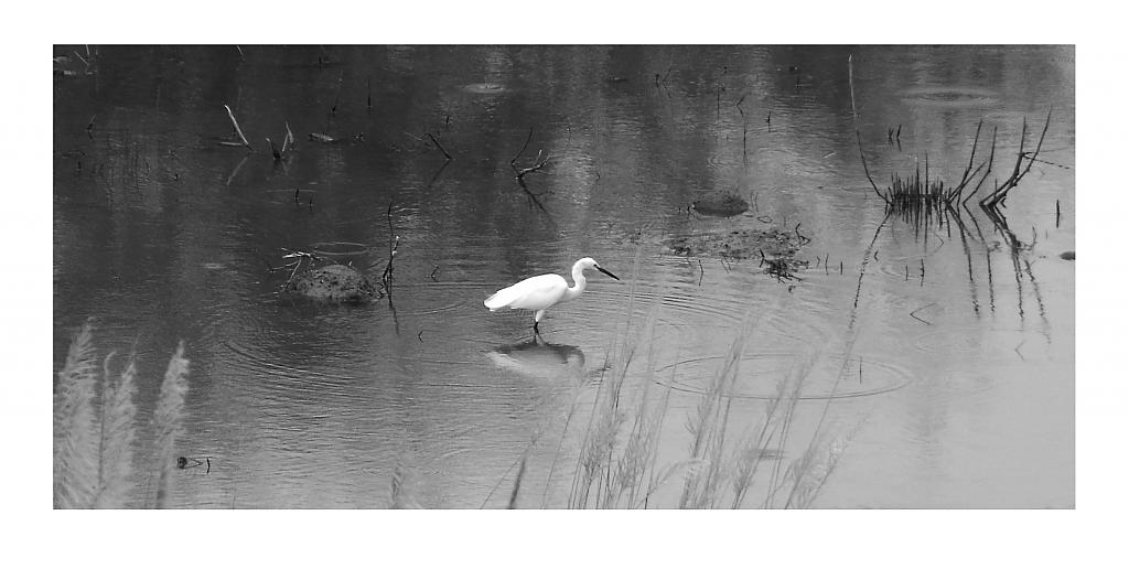 Egret fishing by janfe in Member Albums