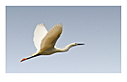 Egret in flight by janfe in Member Albums