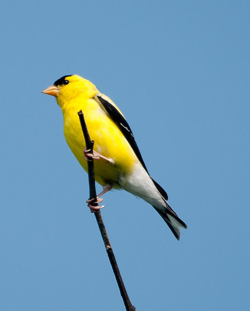 Goldfinch by cbg in Member Albums
