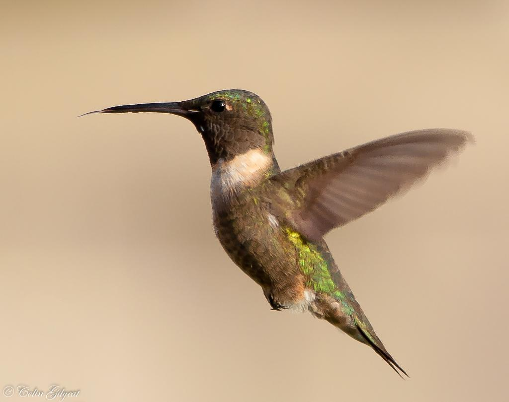 Ruby-throated Hymmingbird by cbg in Member Albums