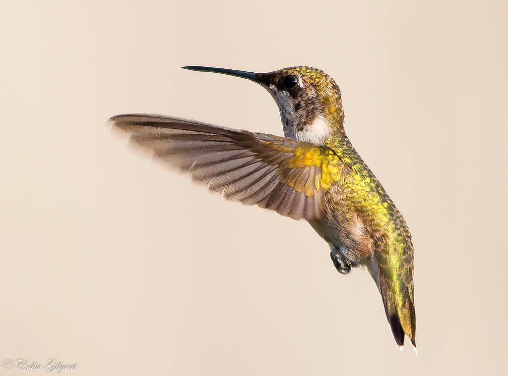 Ruby-throated Hummingbird by cbg in Member Albums