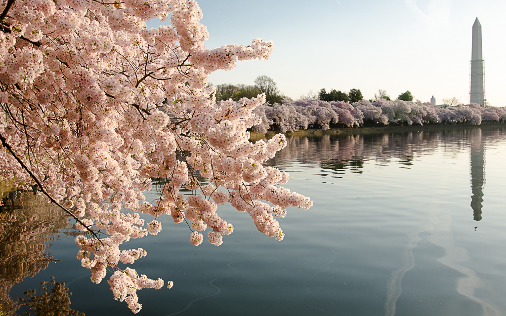 Washington, DC Cherry Blossoms by cbg in Member Albums