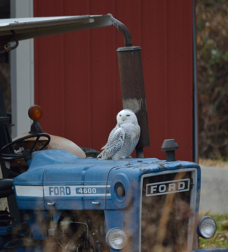 Snowy Owl by cbg in Member Albums