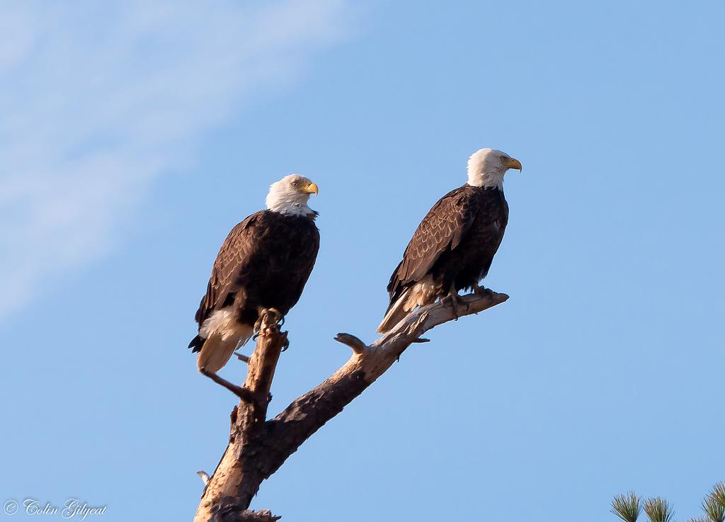 Bald Eagle by cbg in Member Albums
