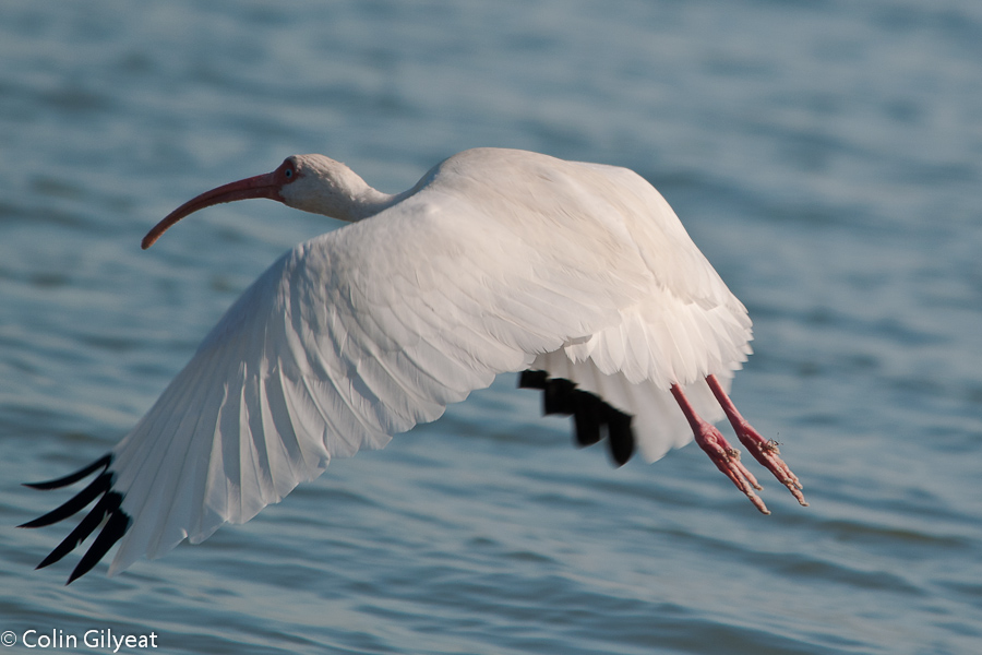 WHite Ibis by cbg in Member Albums