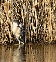 Black-Crowned Night Heron by cbg in Member Albums