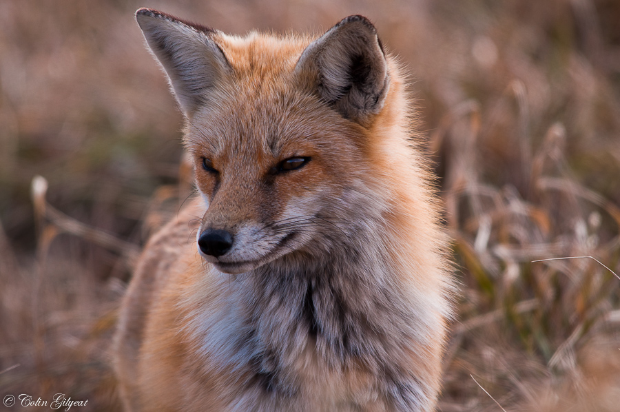 Red Fox by cbg in Member Albums
