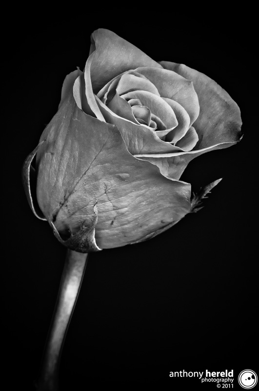 HDR Rose by Browncoat in Member Albums