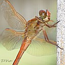 Dragonfly by FredKingston in Member Albums