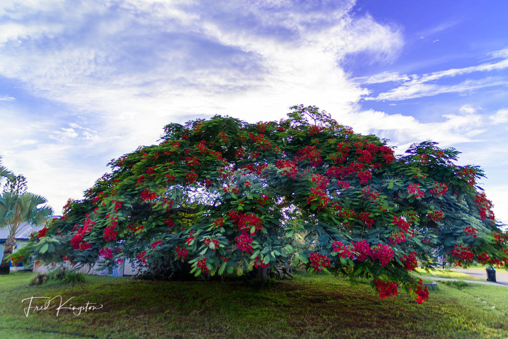 poinciana by FredKingston in Member Albums
