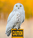 Snowy Owl by Kevin H in Member Albums || Rating: N/A