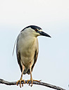 Black-Crowned Night Heron by Kevin H in Member Albums || Rating: N/A