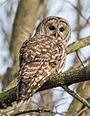 Barred Owl by Kevin H in Member Albums