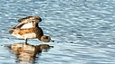 American Widgeon by Kevin H