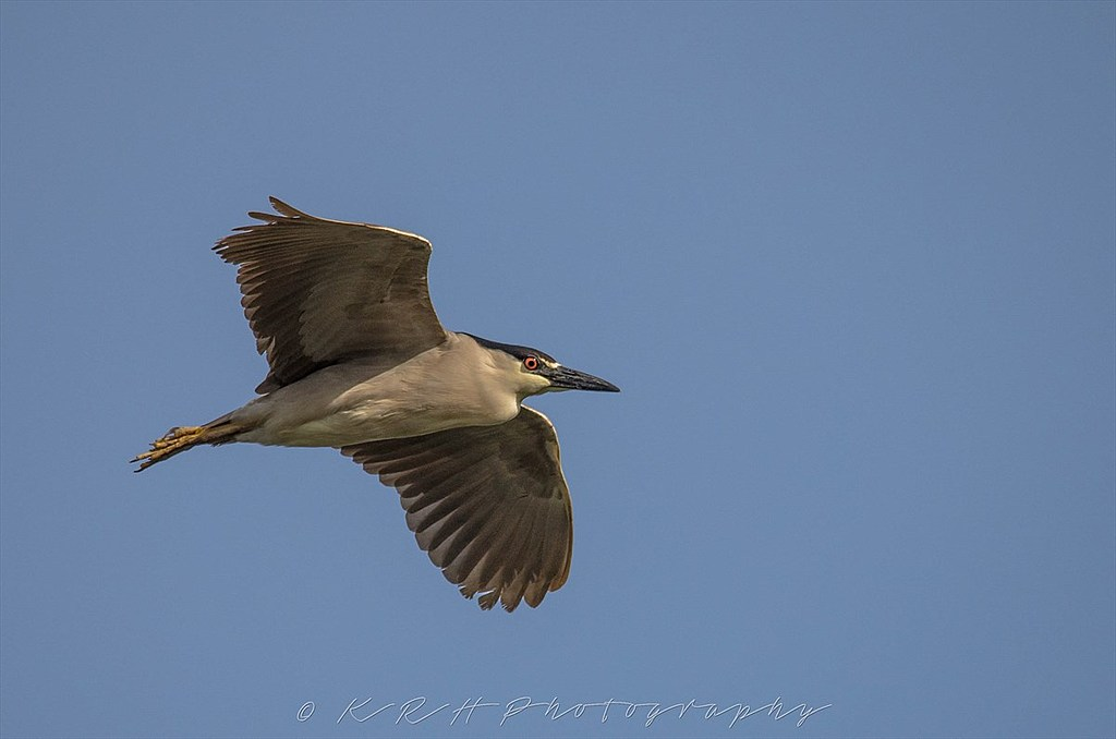 Black-Crowned Night Heron by Kevin H in Member Albums || Rating: 5.00