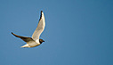 Bonaparte's gull by Kevin H in Member Albums || Rating: N/A