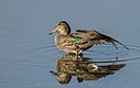 Green-Winged Teal by Kevin H in Member Albums