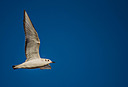 Juvi Bonaparte's Gull by Kevin H in Member Albums || Rating: N/A