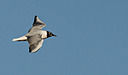 Bonaparte's gull by Kevin H in Member Albums