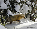 Red Fox by 292smith in Member Albums