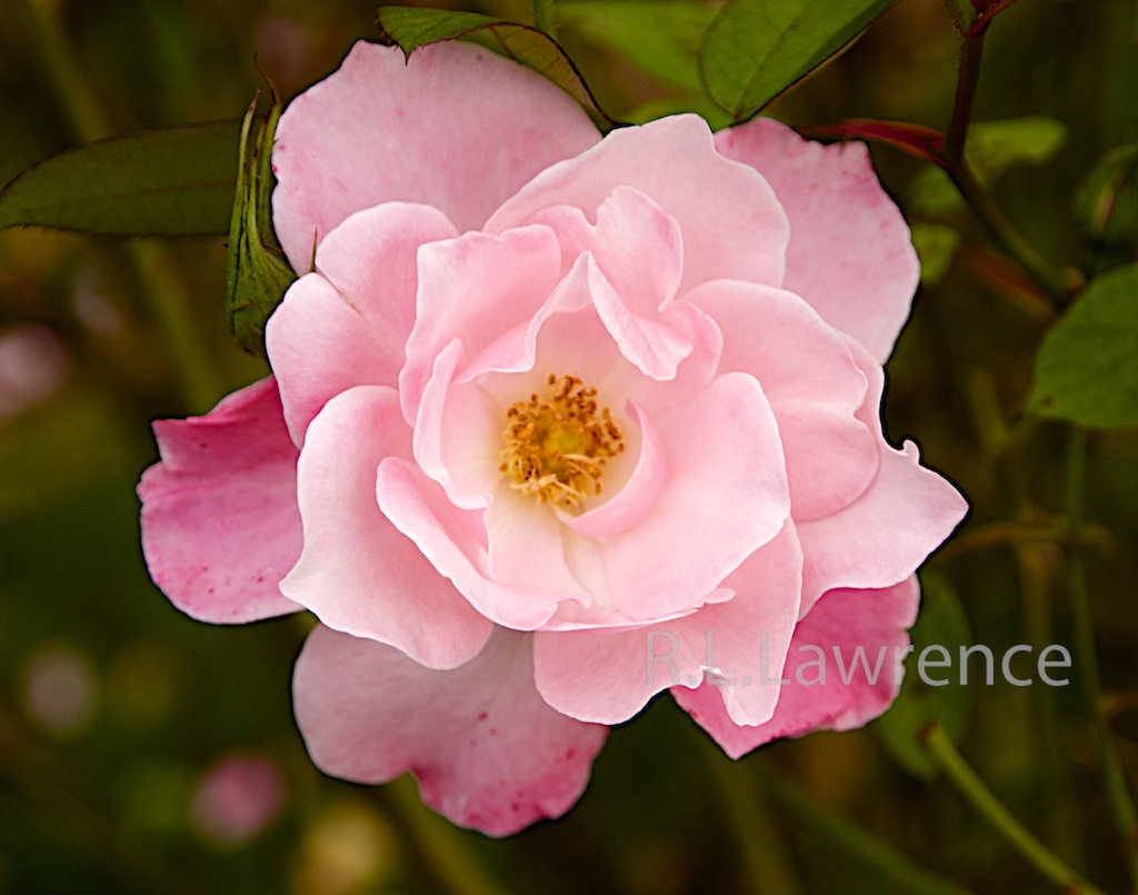 Pink Rose by RON in Member Albums