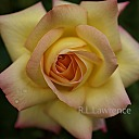 Peace Rose #3 by RON in Member Albums