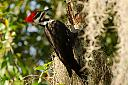 Pileated Woodpecker by richnmib in Member Albums
