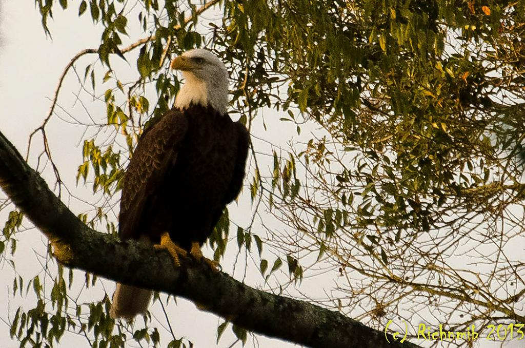 Bald Eagle by richnmib in Member Albums