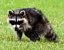 ROCKY THE RACOON by Fotojo in Wildlife and Nature