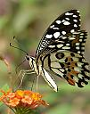Butterfly photography by Terence Kok in Member Albums