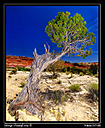 Desert Juniper by Moab Man in Member Albums