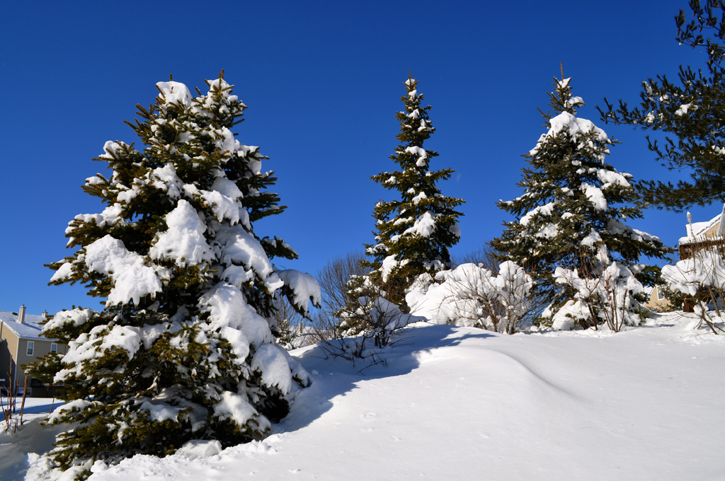 snow and pine trees by jdeg in Member Albums