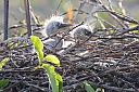 Great Blue Heron Chicks by bobonit in Wetlands