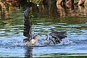 Two Anhingas Playing by bobonit in Wetlands