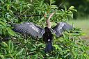 Anhinga by bobonit in Wetlands
