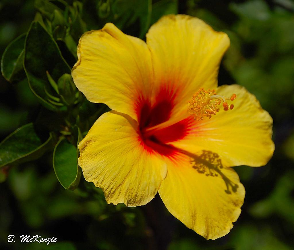 Yellow Hibiscus by Canadia-Nikon in Member Albums