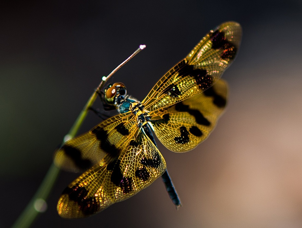 My first Dragonfly by Davoxt in Member Albums