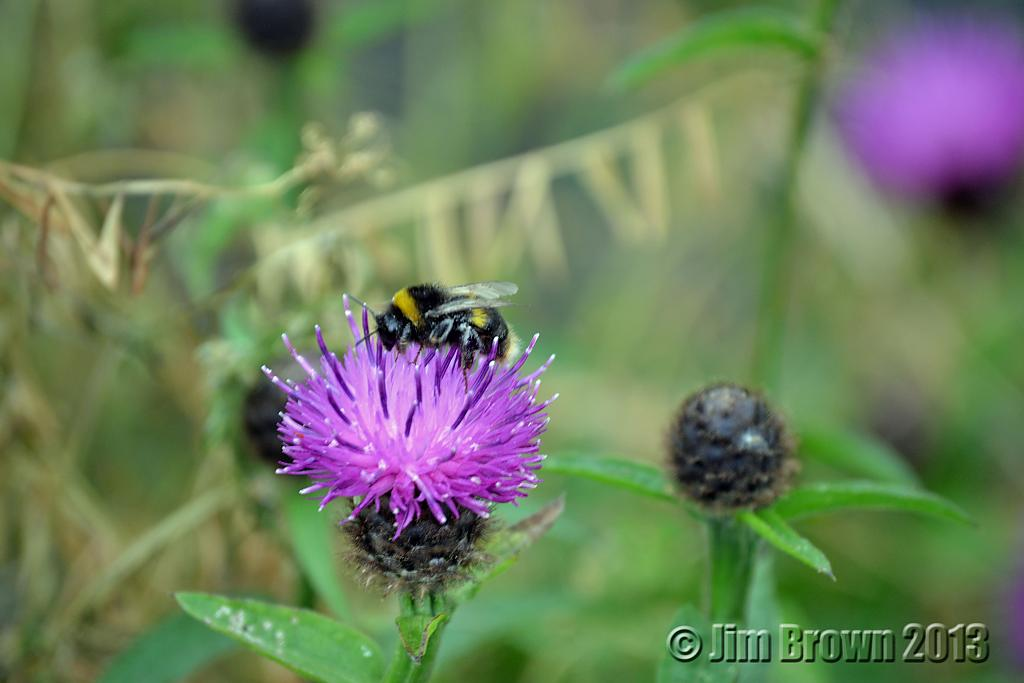 Bee on thistle by jimbro in Member Albums