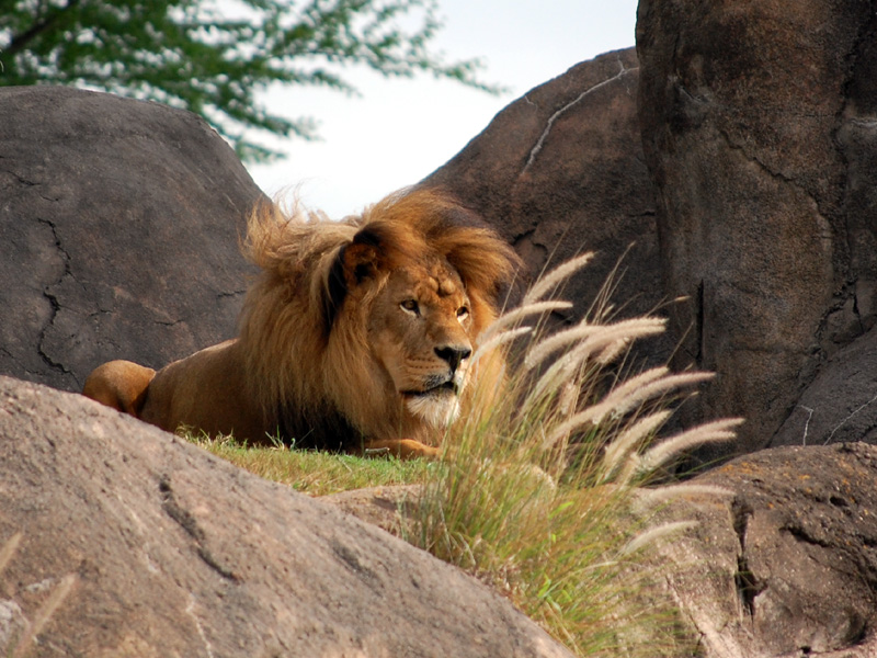Lion @ Animal Kingdom Disney World by carguy in Member Albums