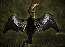 Anhinga by STM in Member Albums