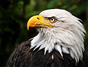 Bald Eagle, Blackwater River State Park by STM in Member Albums