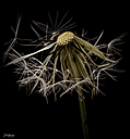 Dandelion Seed Head by STM in Member Albums