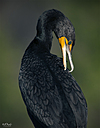 Double Breasted Cormorant by STM in Member Albums